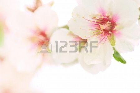 Almond blossom  #gemma #mandorla #mandorlo #sbocciare, #carattere #colore #carino #fiore #paesaggio #pagina #primavera #albero #agricoltura #sfondo #bellissima, #bellezza, #ape, #sbocciare, #zagara, #blu, #ramo, #luminoso, #fiore, #fresco, #frutta, #giardino, #verde, #felice, #isolato, #giapponese, #gioia, #foglia, #luce, #mattina, #naturale, #natura, #nuovo, #parco, #petalo, #rosa, #pianta, #piante, #polline, #romantico, #stagione, #cielo #sole, #albero, #acqua, #bianco, #mandorla