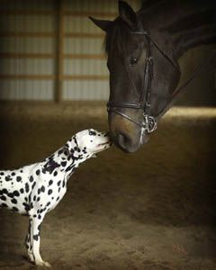 dalmatians and horses | ... horse showing that special relationship between Dalmatians and horses