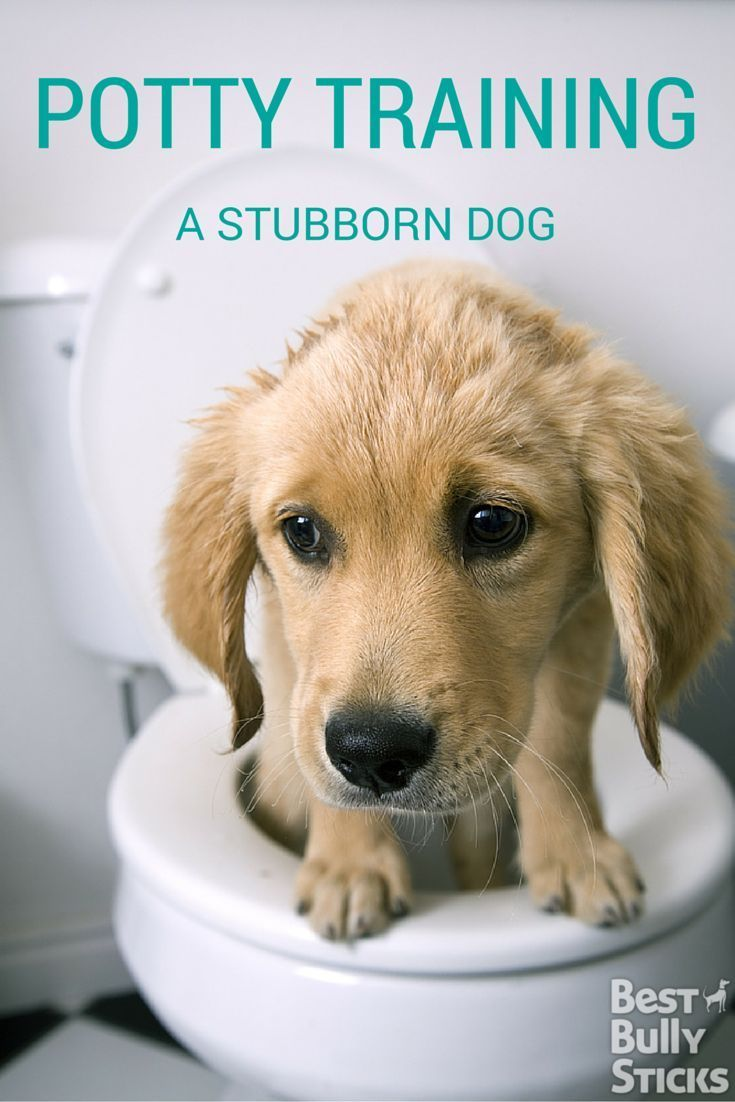 Stubborn dog? Here are tips to potty train your dog!
