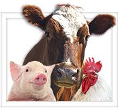 Pig, Chicken and Cow Livestock Animals. Nice site about hobby farms.