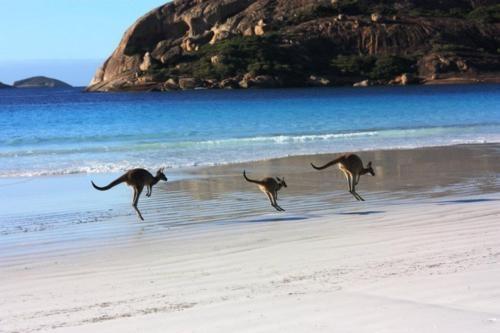 Kangaroos on the beach at Cape le Grand National Park, Esperance, WA   Australia