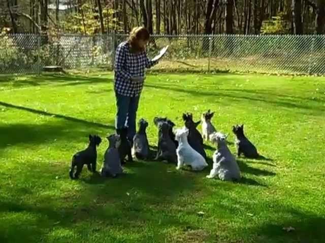 17 Best Ideas About Schnauzer Dogs On Pinterest