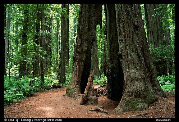 Hollowed tree, Humbolt Redwood State Park. California, USA (color)