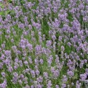 Lavandula angustifolia 'Munstead'. Suitable for Living Wall Wildlife Loving Plant. Click image to get care advice.     Other names: Lavender 'Munstead'    Genus: Lavandula    Variety or cultivar: 'Munstead' _ 'Munstead' forms fragrant, dense mounds of aromatic, grey-green leaves and blue-purple summer flower spikes in late summer.