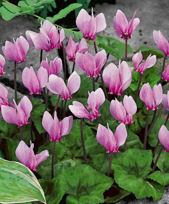 Tuincyclaam  Cyclamen (Cyclamen hederifolium) zijn prachtig zeer opvallend ensterk. Het gemarmerde blad komt tijdens de bloei aan de plant en blijft ook in de winter groen.Deze tuincyclamen zorgen voor een schitterende kleurenpracht in uw tuin.  EUR 6.99  Meer informatie