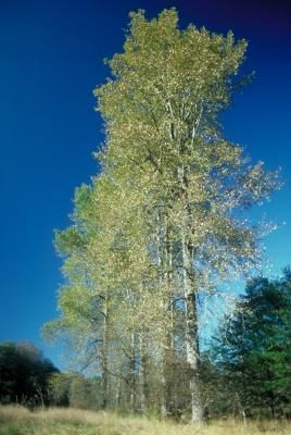 Increase the value of your landscape by introducing poplars to your yard. These fast growing trees increase in height from five to eight feet per year.  Poplar trees produce bright green leaves ...