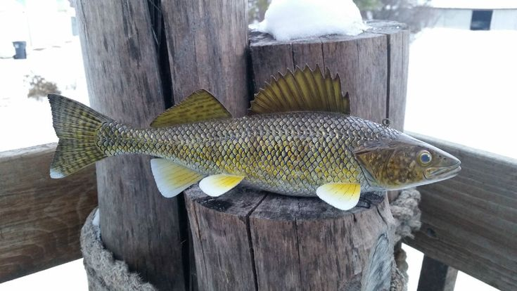 Images about eyez on pinterest sculpture walleye