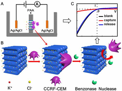 Ultrasensitive Capture, Detection, and Release of Circulating Tumor Cells Using a Nanochannel–Ion Channel Hybrid Coupled with…