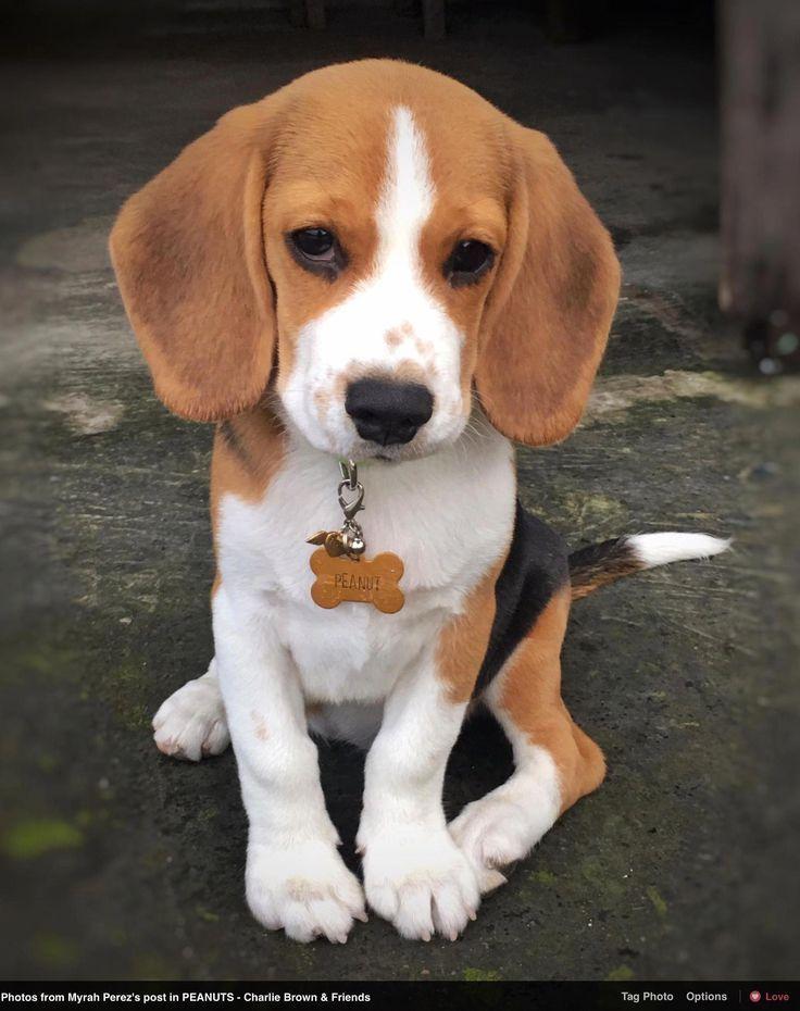 Pocket Beagle Pocket Beagle Beagle Pocket Puppy In 2020