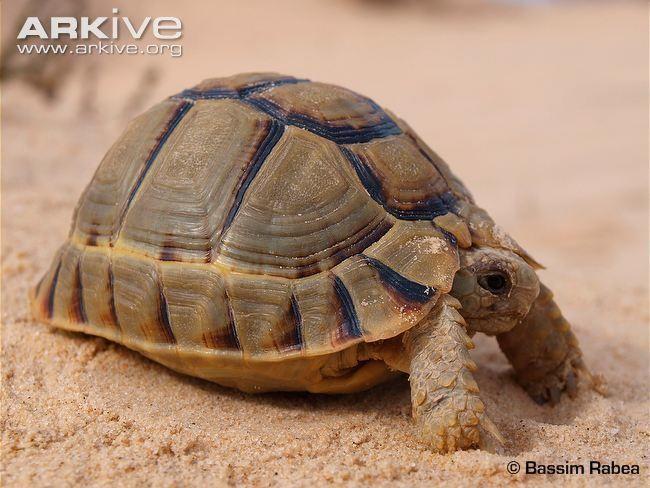 Egyptian Tortoise For Sale Kleinmann S Baby Egyptian Tortoises For Sale Online Kleinmanns Tortoise For Sale Online Near Me Egyptian Tortoise Breeders Tortoises Russian Tortoise Tortoise