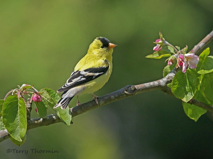 goldfinch | spring « Vancouver Island Nature