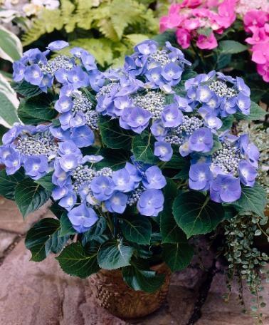 Hortensia 'Teller Blue' är en mycket slående buske med vackert blå blomställningar! #Hydrangea 'Teller Blue' passar i alla #trädgårdar. Du kan plantera den som häck eller ha den i den i en liten rabatt. Den här sorten har flat blomställning. I sura sandjordar är #hortensia 'Teller Blue' blå till färgen och i alkaliska lerjordar skiftar den mer mot det rosa hållet.