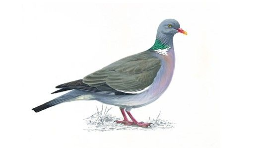 Woodpidgeon: The UK's largest and commonest pigeon, it is largely grey with a white neck patch and white wing patches, clearly visible in flight. Although shy in the countryside it can be tame and approachable in towns and cities. Its cooing call is a familiar sound in woodlands as is the loud clatter of its wings when it flies away.