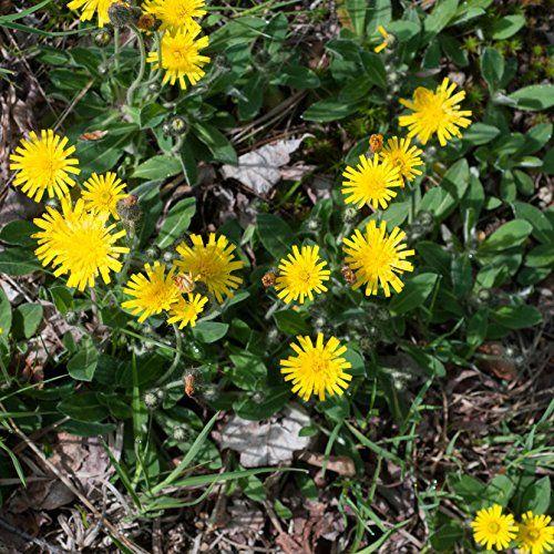 Mouse-Ear Hawkweed (Hieracium pilosella) 20 Rare Medicina... https://www.amazon.com/dp/B01M12VSXO/ref=cm_sw_r_pi_dp_x_fTuPybBFPWVN0