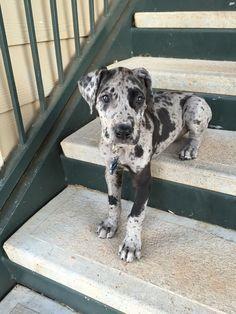 Gypsy Blue-Merle Great Dane puppy