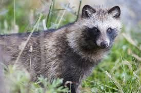 raccoon dog - Google Search /  These dogs are fairly new on the scene. They make great pets !!! The are from Asia . And they are currently being used as faux fur by designers such as Mark Jacobs a.k.a. David Besso on QVC HOME SHOPPING NETWORK. etc.