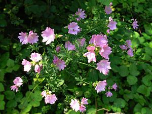 Vervain Mallow (malva alcea): Malva alcea (greater musk-mallow, cut-leaved mallow, vervain mallow or hollyhock mallow) is a plant in the mallow family native to southwestern, central and eastern Europe and southwestern Asia, from Spain north to southern Sweden and east to Russia and Turkey.  https://en.wikipedia.org/wiki/Malva%20alcea