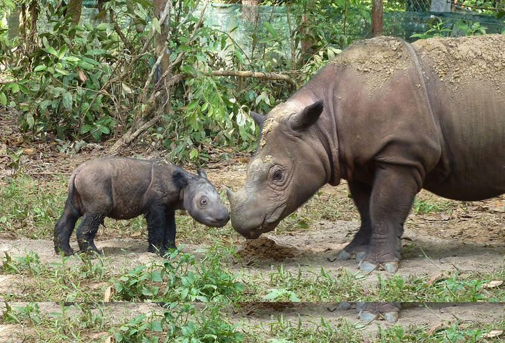 Sumatran Rhinoceros Has Hope For Living In Indonesia | Historical Times