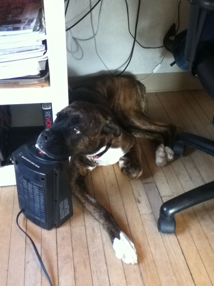 It gets cold in our office during the winter, Ziggy has perfected her method for keeping warm!