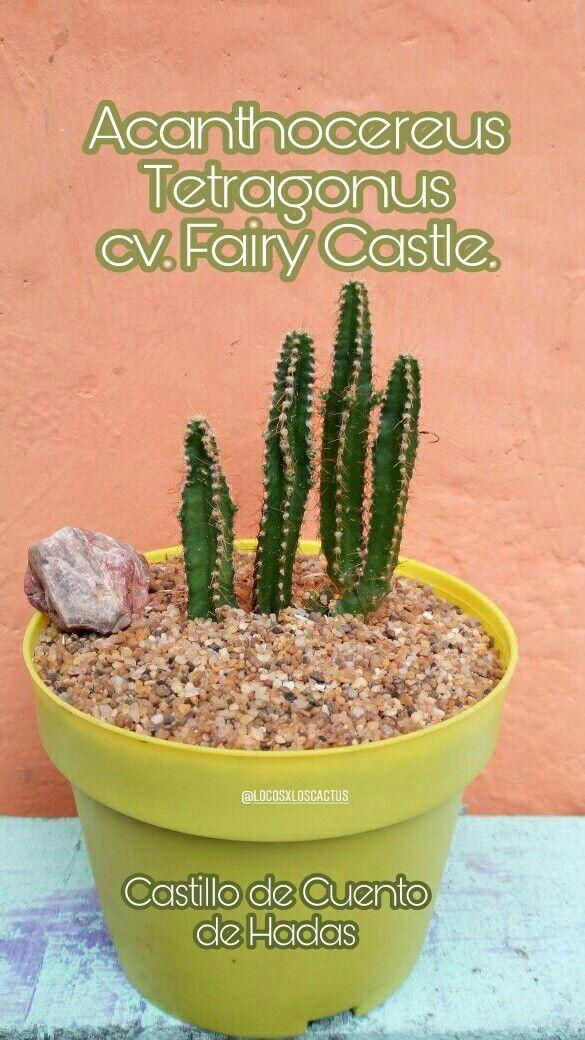 🆔🌵 Acanthocereus Tetragonus CV. Fairy Castle Nombre común: castillo de cuento de hadas  #LocosXLosCactus #Acanthocereus #Cactus