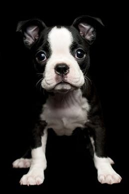 """Boston Terrier From your friends at phoenix dog in home dog training""""k9katelynn"""" see more about Scottsdale dog training at k9katelynn.com! Pinterest with over 18,200 followers! Google plus with over 119,000 views! You tube with over 400 videos and 55,000 views!! Twitter over 2200 followers"""