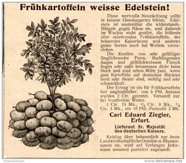 Original-Werbung/Inserat/ Anzeige 1902 - FRÜHKARTOFFELN WEISSE EDELSTEIN / ZIEGLER ERFURT - ca. 90 x 80 mm