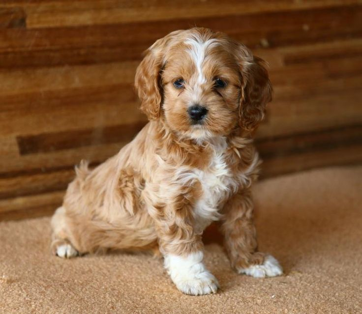 Cockapoo Puppies For Sale Nakuru Kenya