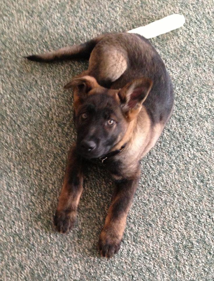 This is Noah. He's a very dark black sable German shepherd