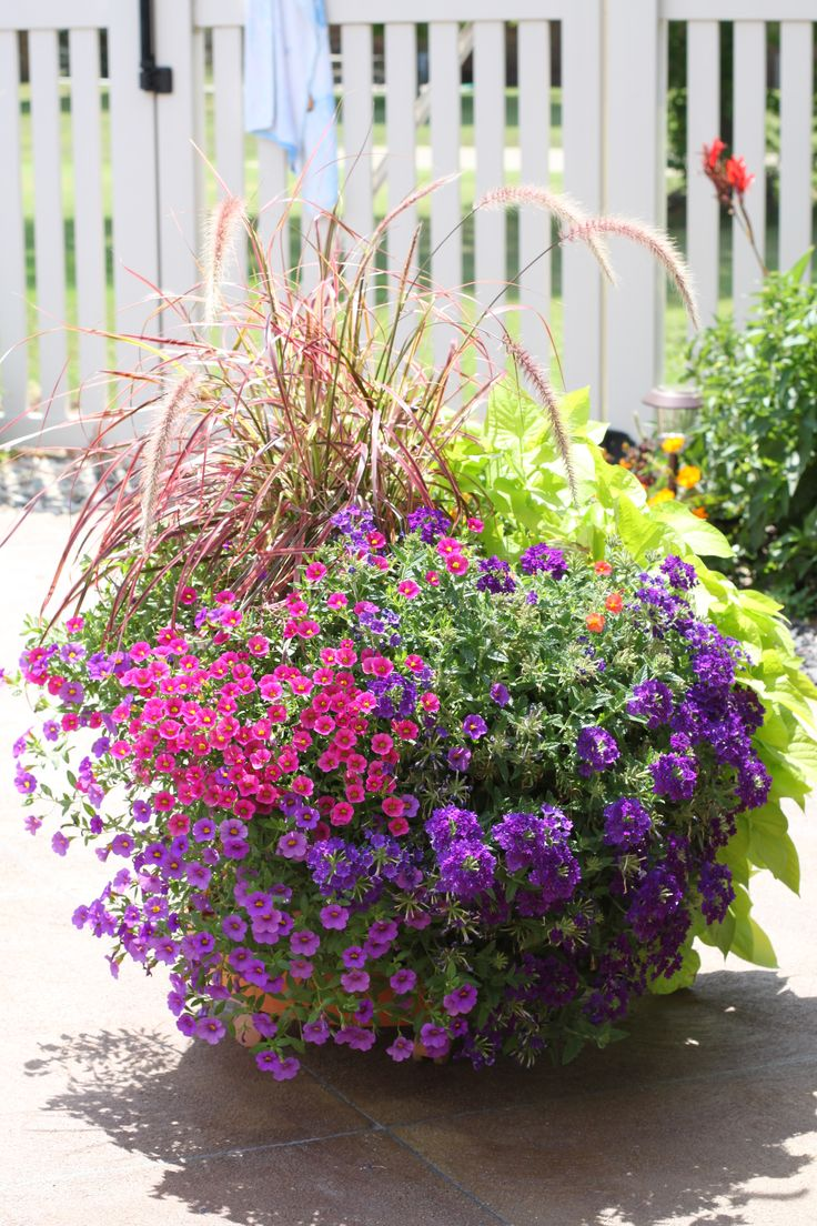 Colorful pot by the pool red fountain grass sweet potato vine million bells and double - Growing petunias pots balconies porches ...