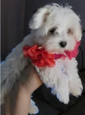 Mya, our Maltese puppy <3 Lindsey Curtis