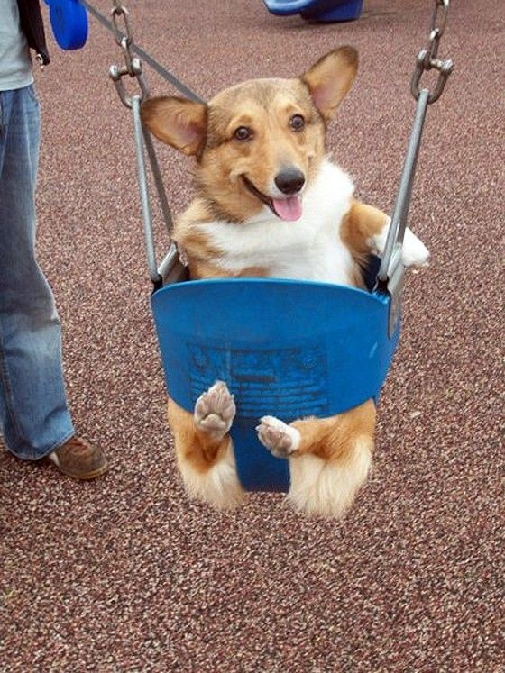 """""""I am tellin you I love swinging, can't you see it on my face and also I have the cutest feet ever' corgi"""