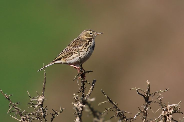 Meadow Pipit Anthus pratensis by Ken Billington http://focusingonwildlife.com/news/wildfocus/featured/meadow_pipit_02/