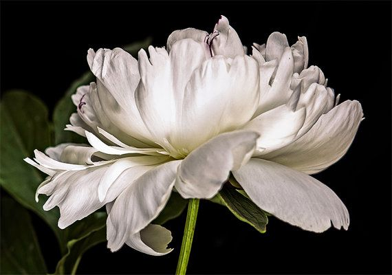 flower photography flower photograph fine art photography nature wall art print wall decor, White Peony on Black Background on Etsy, $30.00