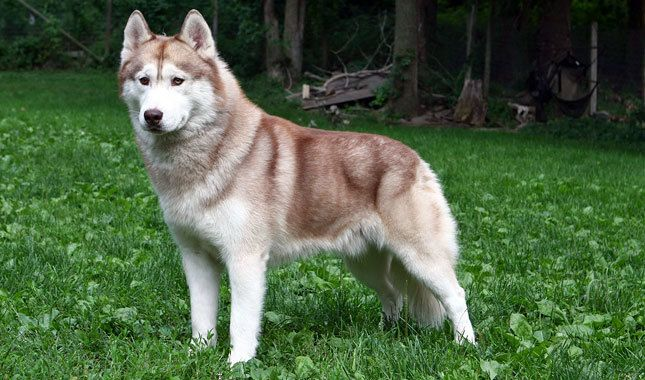 best photos, pictures, and images about siberian husky - dogs that look like wolves