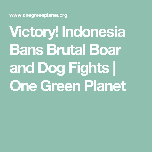 Victory! Indonesia Bans Brutal Boar and Dog Fights | One Green Planet