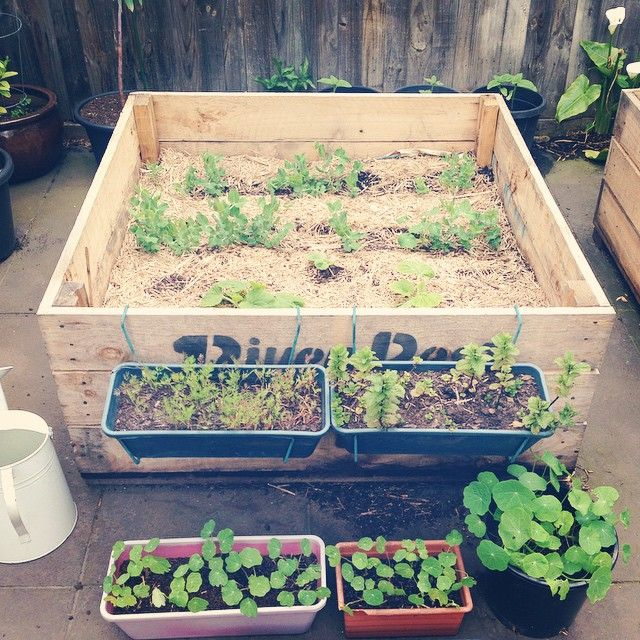 "24 Likes, 3 Comments - Nathalia Suizu (@by_natsui) on Instagram: ""Progress. Grown from seed #containergarden #urbangarden #organic #peas #squash #nasturtiums #dill…"""