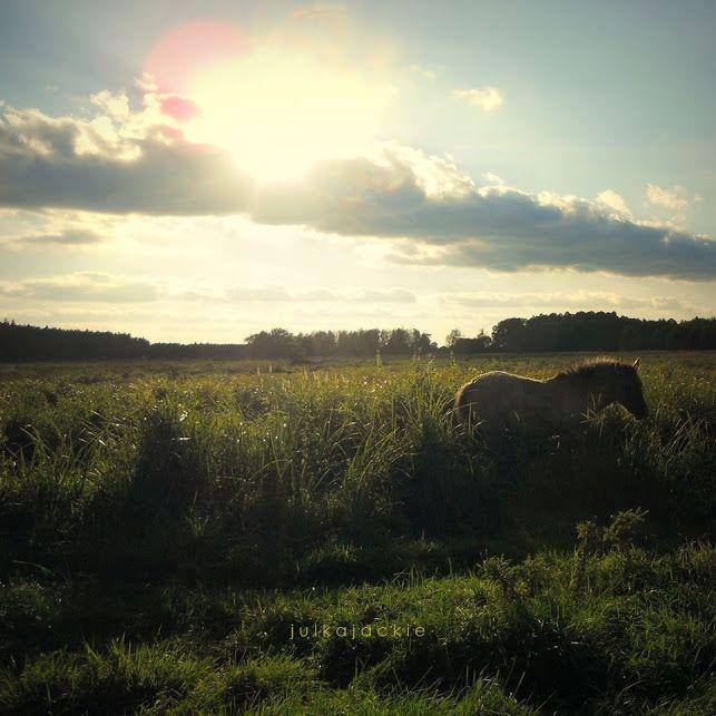 the Konik, meadow in Poland