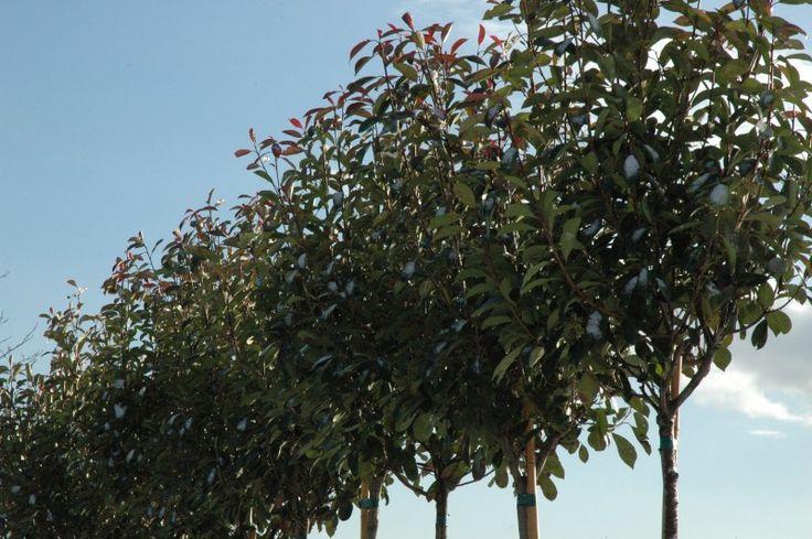 Bol Photinia kopen | Prijs vanaf €30 Photinia Red Robin groenblijvende Bolboom | Bomenenzo