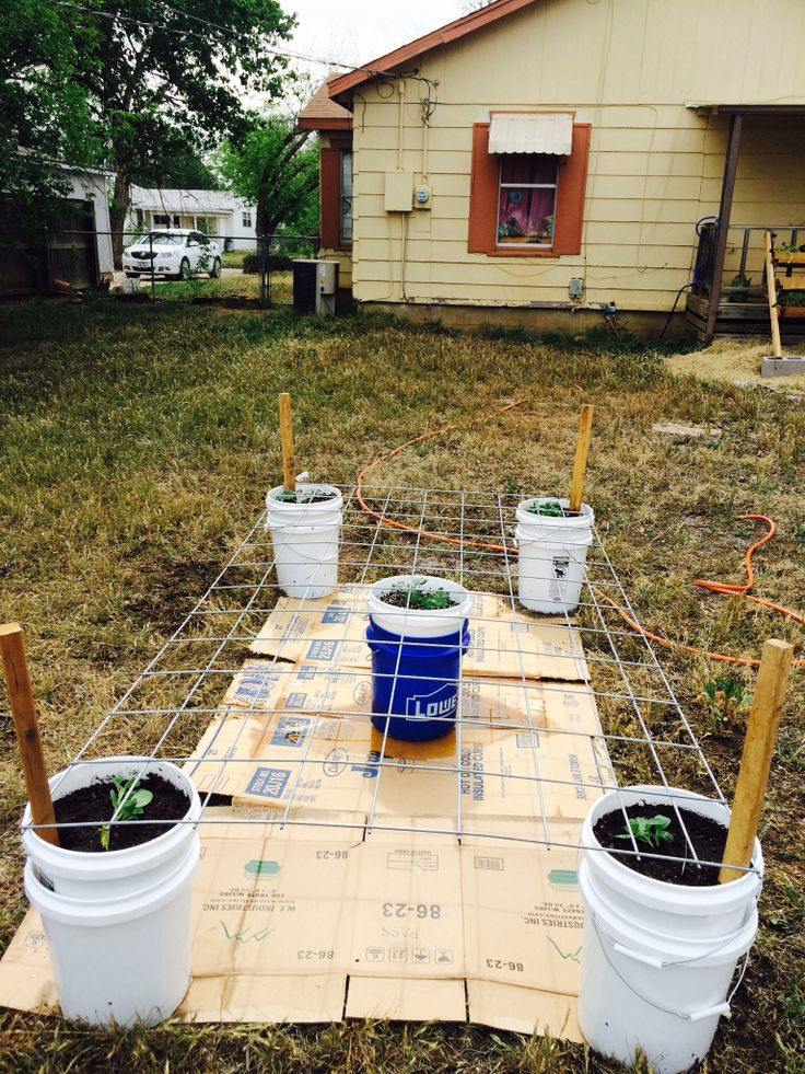 My bucket garden. The corners are zucchini and squash the
