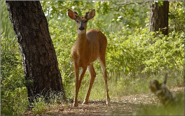 White-Tailed_Deer_in_Forest_600.jpg (600×375)