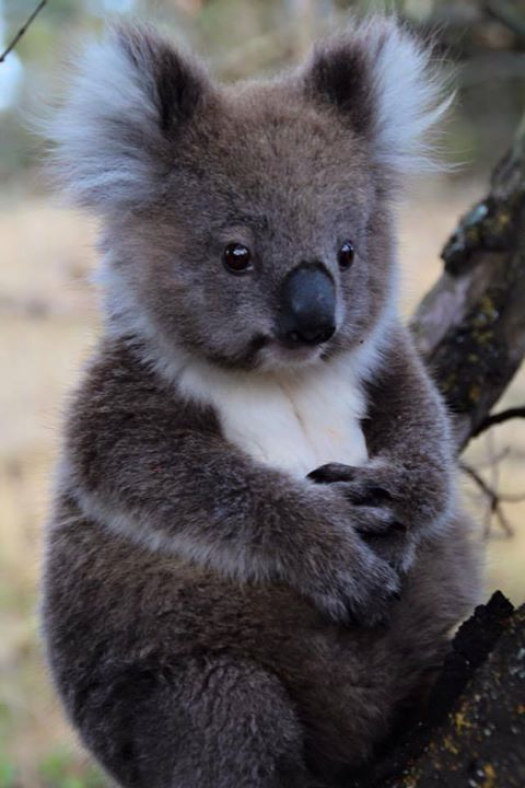 A Koala ~ They are SO soft to touch!