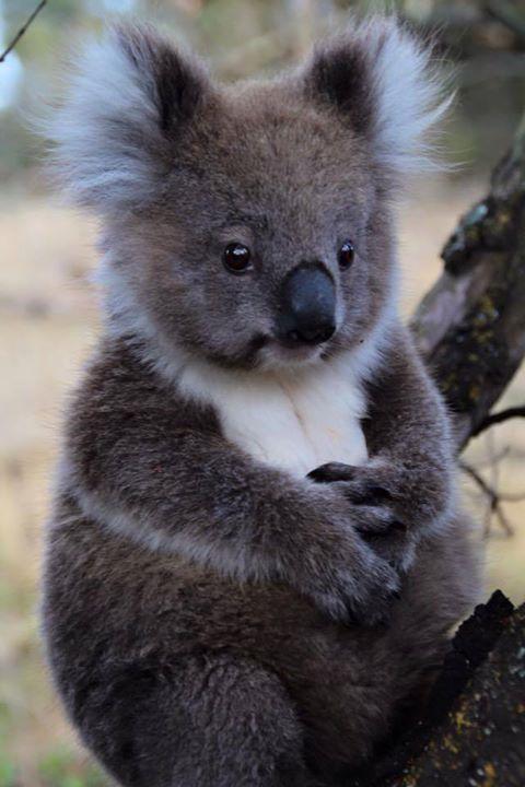 Koala Bear - Marie von Nitzsch & Hans Maxx Conrads | Near Portland, Fitzroy River, VIC -- #koala