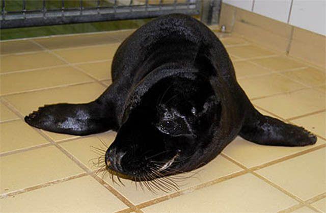 melanistic (black) seal