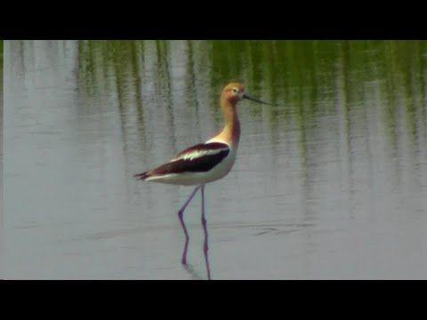 American Avocet at International Bird Rescue - YouTube