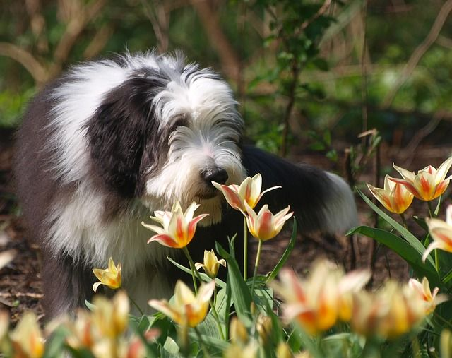 Great For The Family : The Bearded Collie