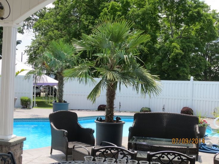 Nice Yard   Palms In The North   Windmill Palm Installation   Windmill Palm  Buy Wholesale