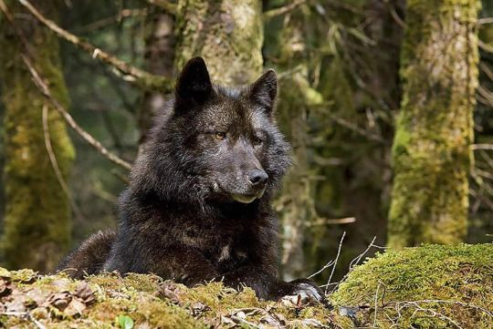 Alexander Archipelago wolf (Canis lupus ligoni) by littledragonsranch