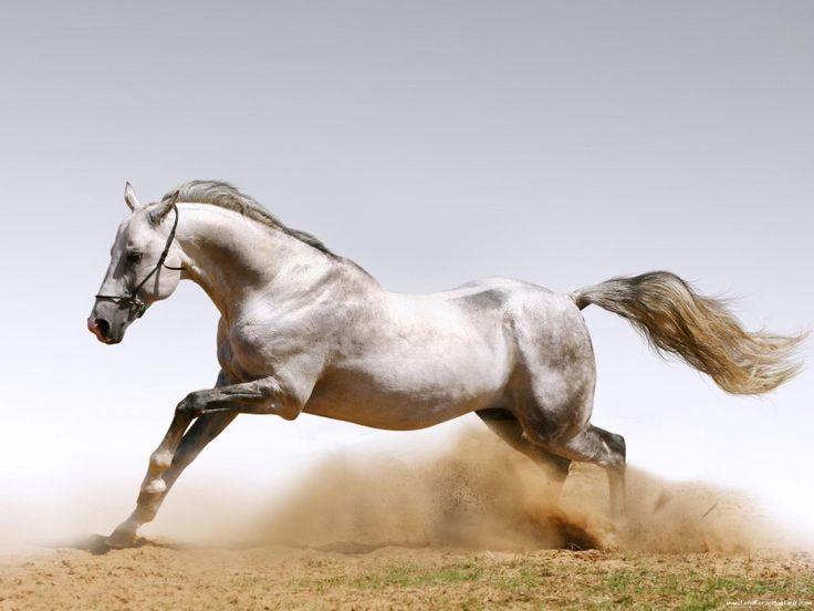un cheval gris au galop