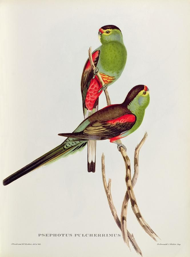 Psephotus Pulcherrimus Painting  - Psephotus Pulcherrimus Fine Art Print
