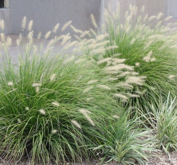 Grass: Pennisetum alopecuroides 'Little Bunny': Dwarf, only a foot high!   Great for containers.  Superb fall interest